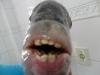 Sargo de Dente