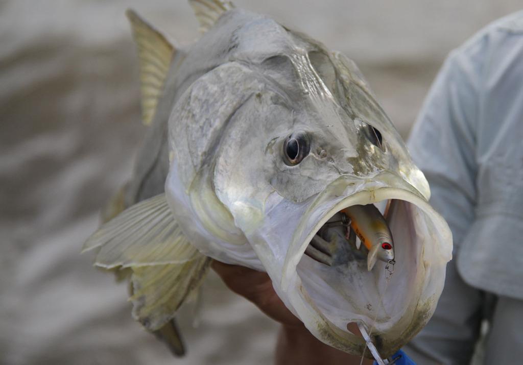 robaloflecha-1024x715 Pesca de Robalos com Artificiais