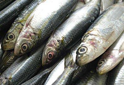 sardinha Iscas naturais pesca de praia