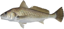Corvina Pesca da Corvina