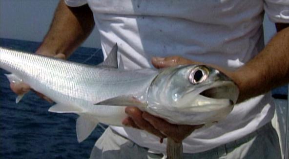 ubarana-1 A pesca da Ubarana