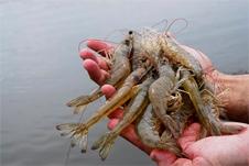 conservando-camarão Iscas naturais pesca de praia