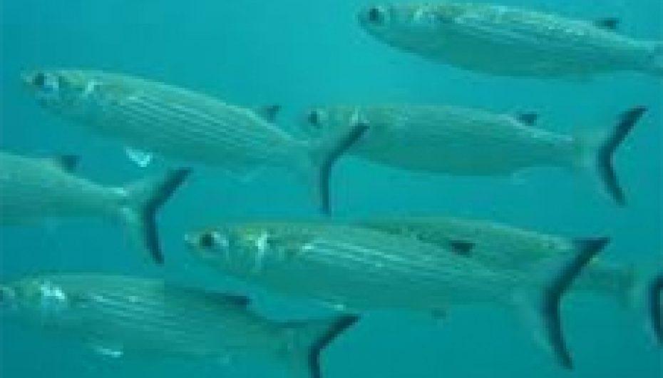 Material pesca da Tainha