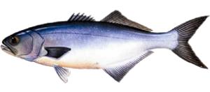 anchova-300x132 Anchova ou Enchova