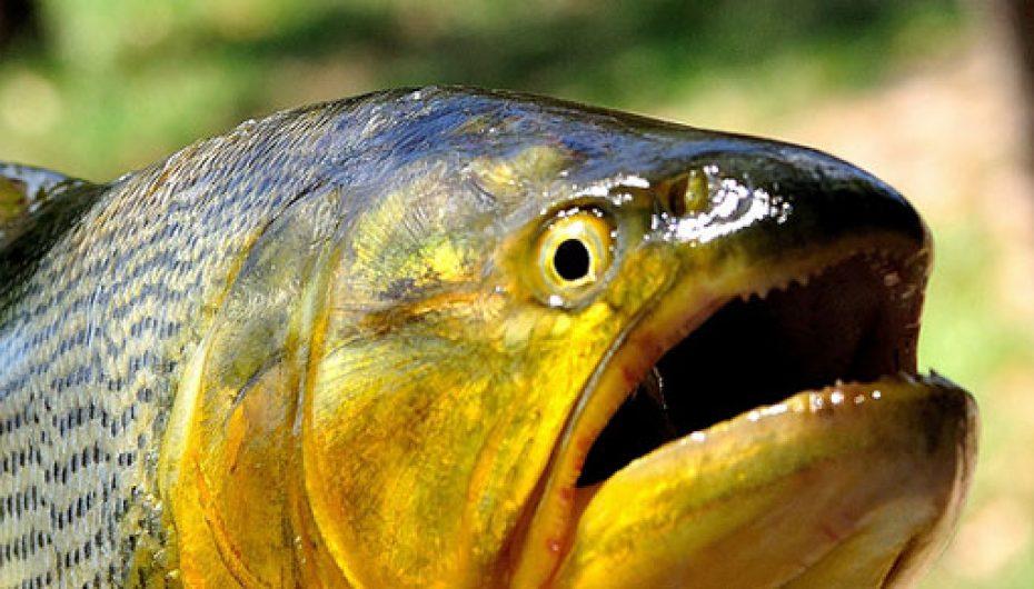 Pesca do Dourado