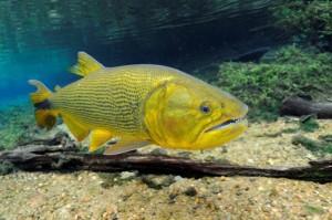 dourado-300x199 Pesca do Dourado