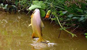 pacu-2-300x172 Pesca do Pacu