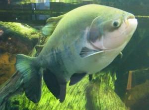 pacu-300x223 Pesca do Pacu