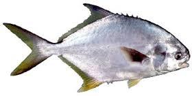 pampo Chicote Pesca do Pampo